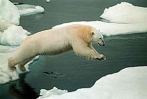 el oso polarbir