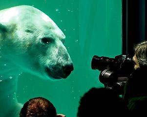 el oso polarbir en la ciudad